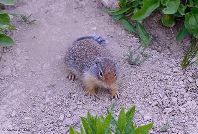 Rocky Mountain Ground Squirrel