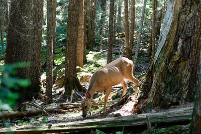 Mule Deer Foraging Along Avalanche Creek Trail