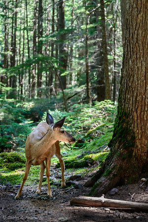 Mule Deer Along Avalanche Creek Trail