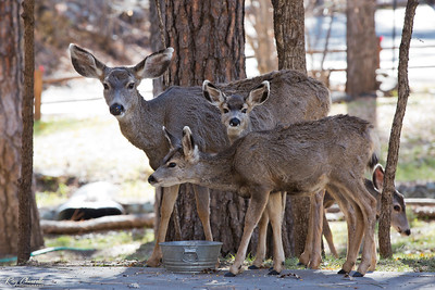 Mule Deer in Ruidoso, New Mexico