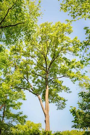 Tree - Central Park-1