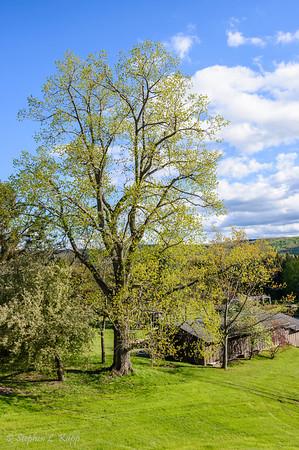 Grand Tree at Six Mile Creek Vinyard