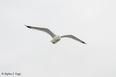 Seagull Following the Ferry