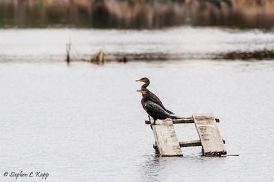 Pair of Cormorants