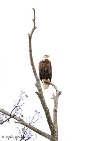 Blad Eagle on Perch