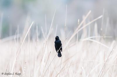 Red-Winged Blackbird Scanning the Scene