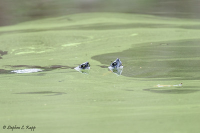 Yellow Bellied Slider Turtles - Periscoping