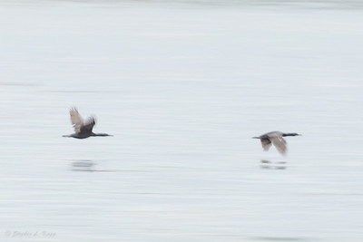 Flying Cormorant's