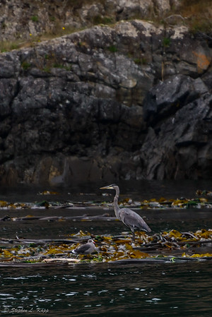 Great Blue Heron with Seagull