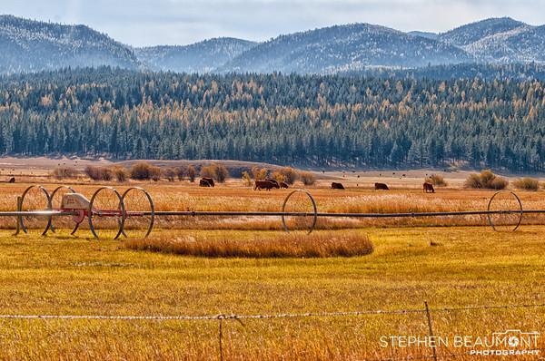 Larch Pines, Montana