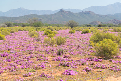 Field of Wildflowers, The Karoo, South Africa