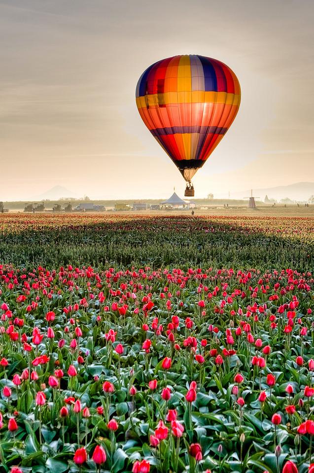 Hot Tulip