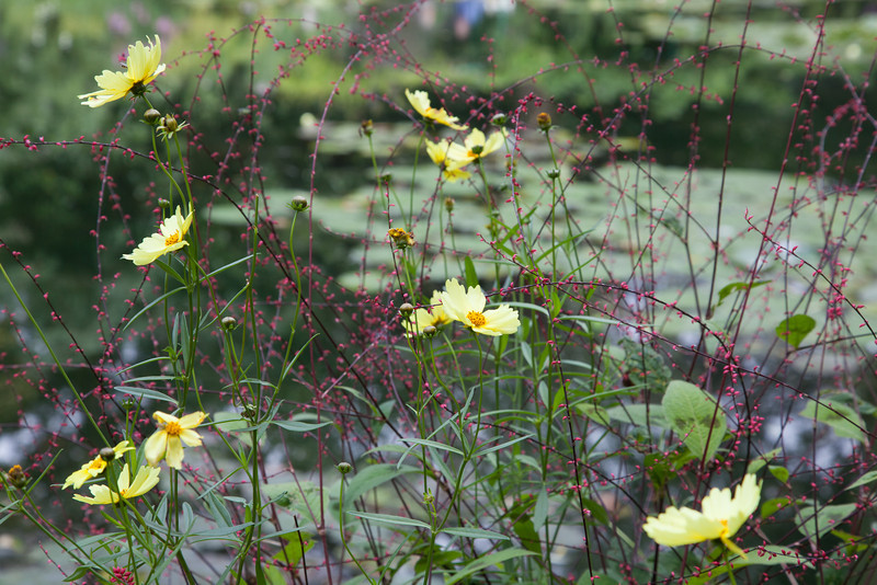 Wild flowers in Monet's garden.