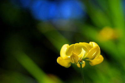 Birds' Foot Trefoil National Geographic Creative Picture ID1250298