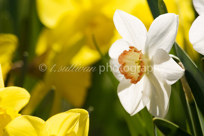 A variety of daffodils basking in bright Spring sunshine.