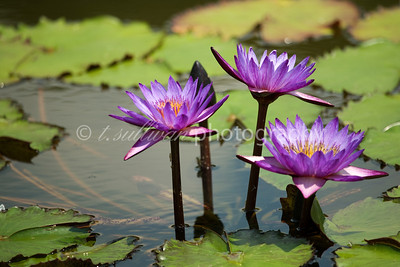 Water lilies in the Italian Gardens at The Biltmore, in Asheville, NC.
