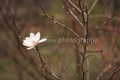 A lone magnolia blossom in early Spring.