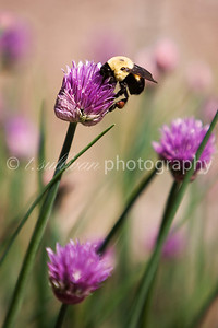 A busy bumblebee collects pollen from chive flowers.