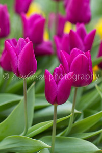 Bright purple tulips