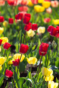 Backlit field of tulips