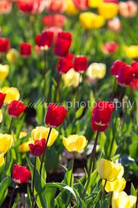 Backlit field of tulips