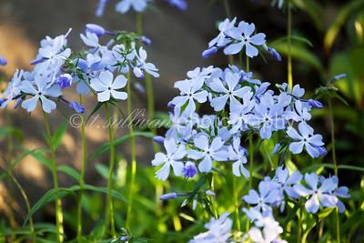 Blue Phlox in early Spring