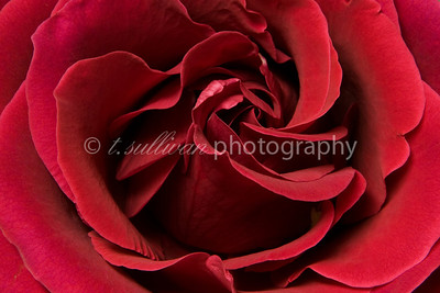 Close up of a red rose.
