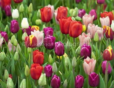 A field of colorful tulips