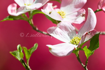 Pink dogwood flowers bloom in front of bring pink azaleas