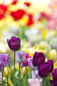 A colorful array of tulips
