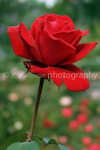 A single red rose in the gardens at the Biltmore in Asheville, NC.