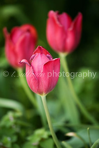 Red tulips in early Spring
