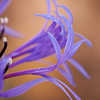 Cornflower detail