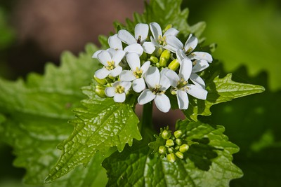Garlic Mustard (Alliaria petiolata)