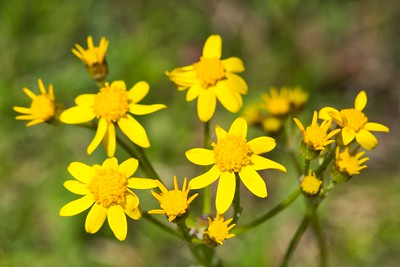 Common Ragwort (Jacobaea vulgaris)