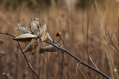 Prairie Sagewort (Artemisia frigida)