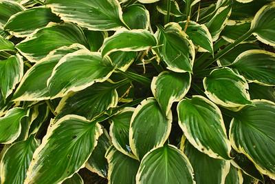 Plaintain Lily (Fortunei Albomarginata)