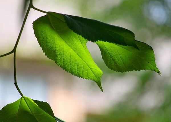 Leaf Light