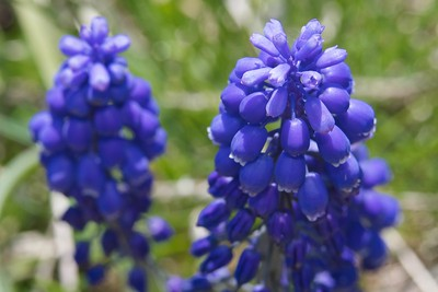 Grape Hyacinth (Muscari neglectum)