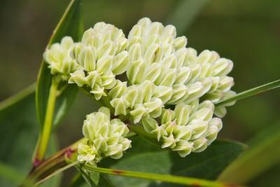 Groovestem Indian Plantain (Arnoglossum plantagineum)