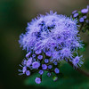 Lavender Pop