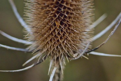 Dried Teasel Seedpod (Dipsacus fullonum)
