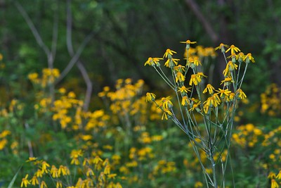 Common Ragwort (Jacobaea vulgaris)