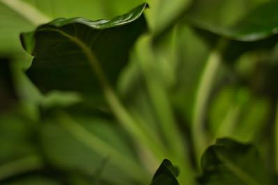 Dumbcane Leaf (Dieffenbachia)