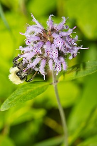 Bumble Bee on Downy Wood Mint (Blephilia ciliata)
