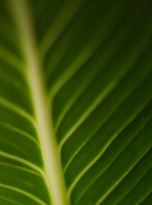 Dumbcane Leaf Detail (Dieffenbachia)