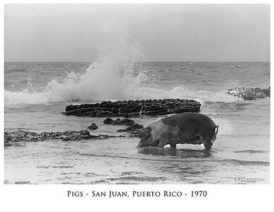 Pigs_San Juan 1971C
