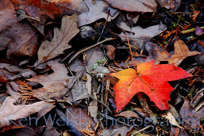 """Maple""  © Ken Welsh Copyright"
