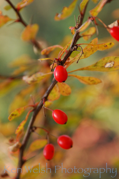 """Autumnberries""<br /> <br /> © Ken Welsh Copyright"