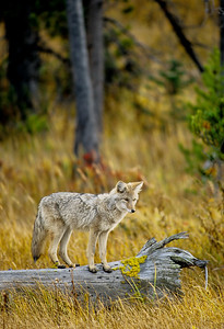 Coyote on Log